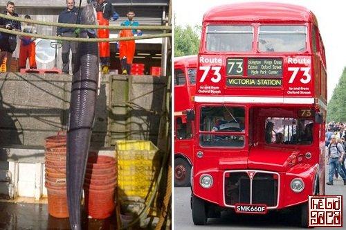 Con lươn có chiều dài hơn chiều cao của một chiếc xe bus hai tầng_Thegioidoco.net.jpg