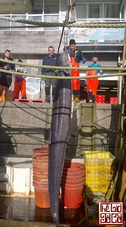 Con lươn khổng lồ được các ngư dân Anh bắt lên_Thegioidoco.net.jpg