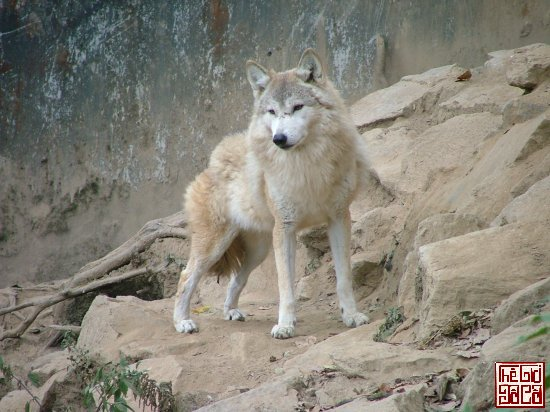 my-year-off.1201449600.tibetan-wolf.jpg
