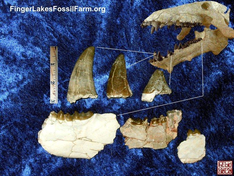 enteledont_archaeotherium_canines_molars-01.jpg