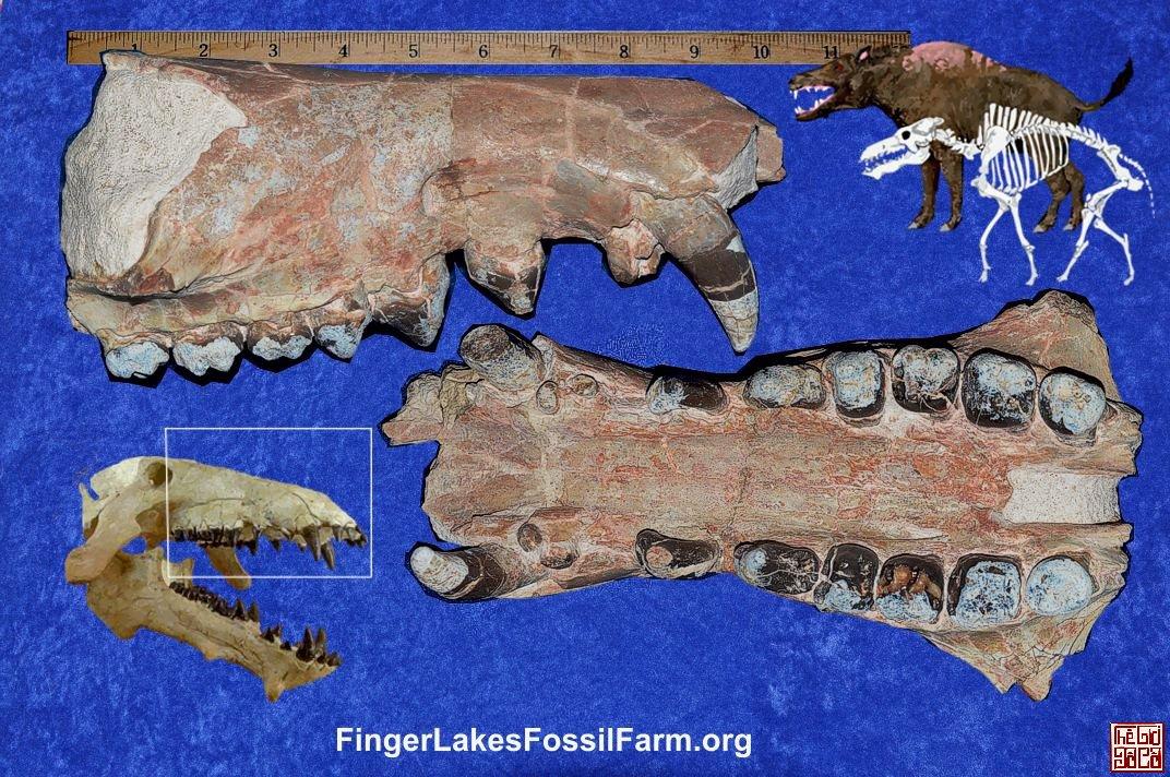 entelodont_archaeotherium_mortoni_upper_skull.jpg